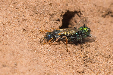 Common spiny digger wasp (Oxybelus uniglumis), carrying fly prey to nest burrow, impaled on stinger, Monmouthshire, Wales, UK, August.