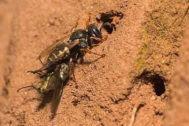 Common spiny digger wasp (Oxybelus uniglumis), carrying prey to nest, impaled on stinger, Monmouthshire, Wales, UK, August.