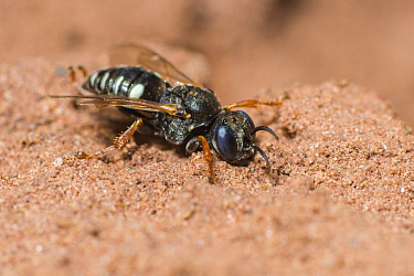 Common spiny digger wasp (Oxybelus uniglumis)  Monmouthshire, Wales, UK, August.