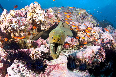 Green moray (Gymnothorax castaneus) with sea urchins and Guadalupe cardinalfish (Apogon guadalupensis) Malpelo Island  National Park, UNESCO World Heritage Site, Colombia, East Pacific Ocean
