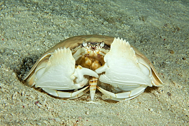 Giant box crab (Calappa calappa) eating a shell, Tubbataha Reef Natural Park, UNESCO World Heritage Site,  Sulu Sea, Cagayancillo, Palawan, Philippines