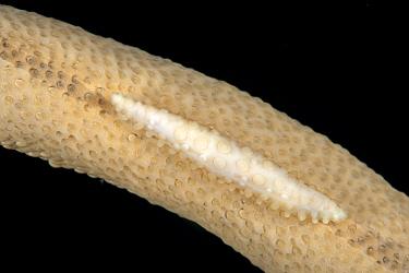 Allied cowry (Hiatavolva coarctata) on sea fan (Rumphella sp) Tubbataha Reef Natural Park, UNESCO World Heritage Site,  Sulu Sea, Cagayancillo, Palawan, Philippines
