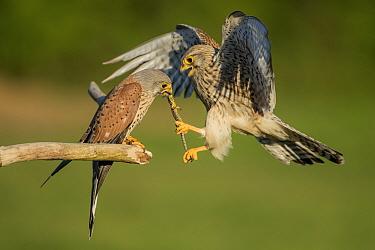 Female kestrel (Falco tunniculus) taking lizard prey gift  from male,   Mayenne, France