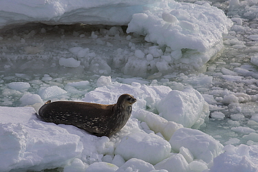 Weddell seal (Leptonychotes weddellii) on sea ice, Cape Hallett, Ross Sea, Antarctica. Photographed for The Freshwater Project
