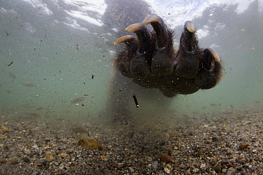 Underwater view of Brown bear (Ursus arctos) paw fishing for Sockeye salmon (Oncorhynchus nerka) with paw outstretched. Ozernaya River, Kuril Lake, South Kamtchatka Sanctuary, Far East Russia. August.