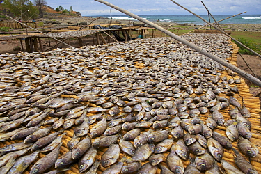 Cichlids (known as Utaka), drying on the shore of Lake Malawi, , Malawi. Photographed for The Freshwater Project October and November 2015