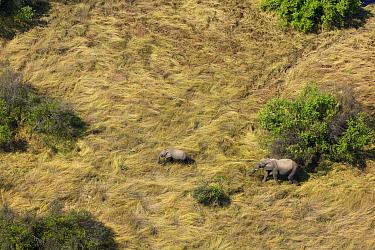 Aerial view of African bush elephants (Loxodonta africana) near to th Zambezi River upstream of Victoria Falls, Mosi-oa-Tunya / Victoria Falls UNESCO World Heritage Site. At the border of Zimbabwe and...