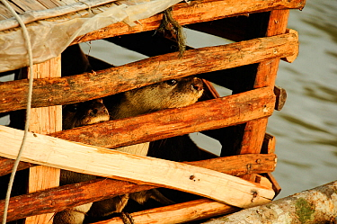 Caged Smooth coated otters (Lutragale perspicillata) used for traditional fishing practices. The Sundarbans National Park, the largest mangrove swamp in the world. Bangladesh. UNESCO World Heritage Si...