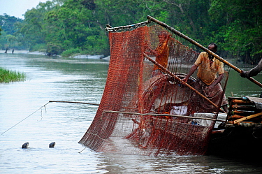 Smooth coated otters (Lutragale perspicillata) used in traditional fishing practices. The Sundarbans National Park, the largest mangrove swamp in the world. Bangladest, UNESCO World Heritage Site. Jun...