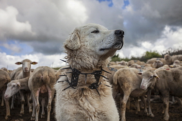 "Maremma Sheepdog  wearing traditional anti-wolf spiked collar, locally known as ""vreccale"". Gran Sasso National Park, Abruzzo, Italy, June."