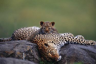 Leopard resting with cub (Panthera pardus) Masai Mara NR, Kenya