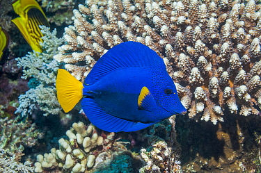 Yellowtail tang or Yellowtail surgeonfish (Zebrasoma xanthurum), Red Sea, Egypt. January.