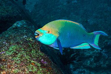 Greenthroat or Singapore parrotfish (Scarus prasiognathos), terminal male grazing on algae covered coral boulder,  Andaman Sea, Thailand. December.