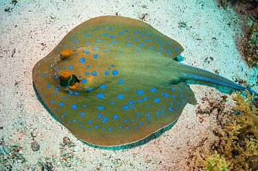 Bluespotted ribbontail ray (Taeniura lymna), Red Sea, Egypt. January.