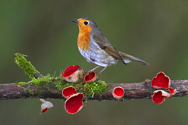 Robin (Erithacus rubecula) on branch with Scarlet elfcup fungus (Sarcoscypha coccinea) spring. Dorset, UK, March.
