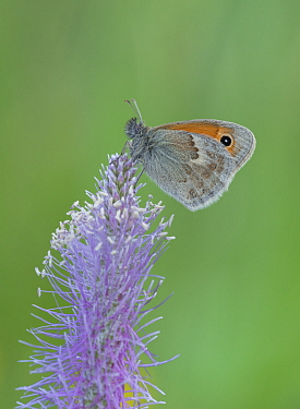 Common heath butterfly (Coenonympha pamphilus) St Caterina di Valfurva, Alps, Italy