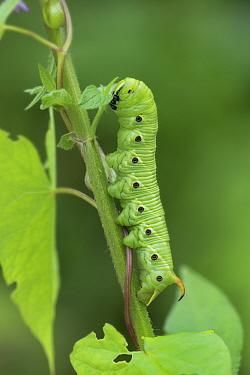 Convolvulus hawk-moth (Agrius convolvuli) caterpillar, Vercors National Park, France, August.