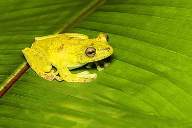 Palm treefrog (Hypsiboas pellucens) adult, Mindo, Ecuador. June.