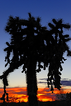 Chain-fruit or Jumping cholla (Cylindropuntia fulgida) silhouetted at sunset, Saguaro National Park, Arizona, USA, April.