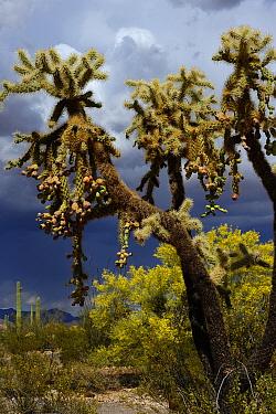 Chain-fruit or Jumping cholla (Cylindropuntia fulgida), Organ Pipe Cactus National Monument, Sonoran Desert, Arizona, USA, April.