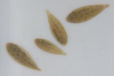 Juvenile Sole (Solea vulgaris) fish fry, caught for scientific research by Tour du Valat. La Gacholle, Camargue, France.