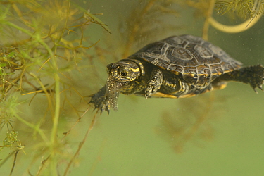 European pond turtle (Emys orbicularis) feeding on tadpole of Mediterranean tree frog (Rana meridionalis) Camargue, France. June.