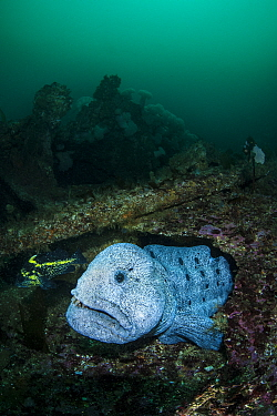 Wolf eel (Anarrhichthys ocellatus) male hiding amongst a wreck. Browning Pass, Port Hardy, Vancouver Island, British Columbia, Canada. Queen Charlotte Strait, North East Pacific Ocean