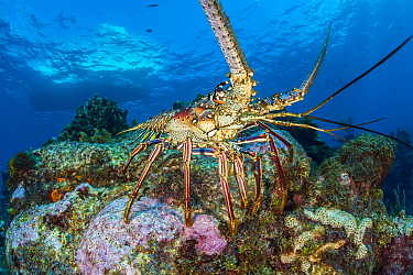 Caribbean spiny lobster (Panulirus argus) emerges onto a coral reef in late afternoon. East End, Grand Cayman, Cayman Islands, British West Indies. Caribbean Sea.