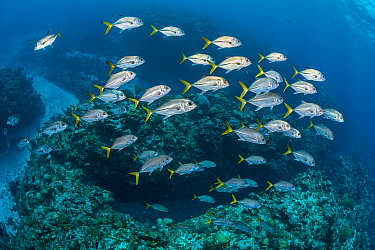 School of predatory Horse-eye jack (Caranx latus) swim over a coral reef. East End, Grand Cayman, Cayman Islands, British West Indies. Caribbean Sea