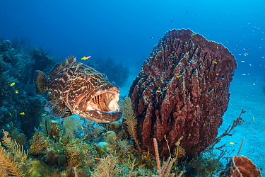 Black grouper (Mycteroperca bonaci) yawns as it visits a cleaning station on a coral reef, beside a giant barrel sponge (Xestospongia muta). Jardines de la Reina, Gardens of the Queen National Park, C...