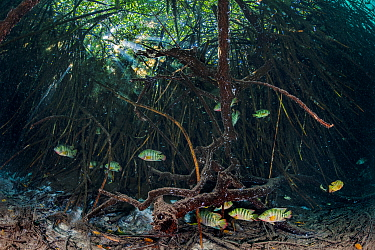 Mayan cichlids (Cichlasoma urophthalmus) shelter amongst Mangrove roots (Rhizophora mangle) in a coastal cenote that mixes fresh and salt water. Casa Cenote, Tulum, Yucatan, Mexico.