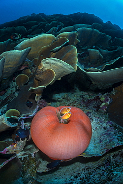 Magnificent sea anemone (Heteractis magnifica) is home to a Pink anemonefish (Amphiprion perideraion) in cabbage coral. Ulong, Rock Islands, Palau, Mirconesia. Tropical west Pacific Ocean