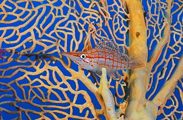 Longnose hawkfish (Oxycirrhites typus) in its home sea fan (Annella mollis) on a coral reef. Small Crack, Sha'ab Mahmud, Sinai, Egypt. Red Sea.