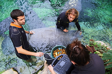 Veterinarian and two keepers performing an ultrasound scan on a pregnant Florida manatee female (Trichechus manatus latirostrus), Beauval Zoo, France, October 2017.