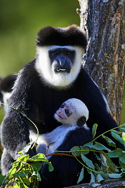 Black and white colobus monkey (Colobus guereza) holding white infant, aged 1 month, in tree, captive, Zoo Parc Beauval, France.