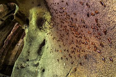 Cockroaches (Periplaneta australasiae) on wall of Gomantong caves, Borneo, Sabah, Malaysia.