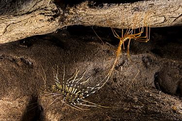 Cave centipede (Thereuopoda longicornis) moulting, Gomantong caves, Borneo, Sabah, Malaysia.