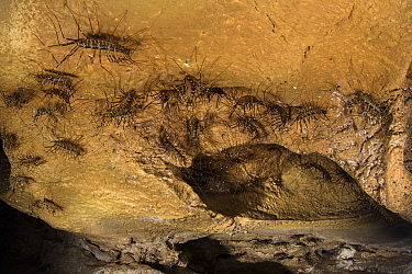 Cave centipedes (Thereuopoda longicornis) on cave ceiling. Gomantong caves, Borneo, Sabah, Malaysia.