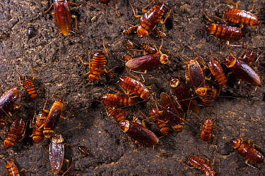 Cockroaches (Periplaneta australasiae), Gomantong caves, Borneo, Sabah, Malaysia.