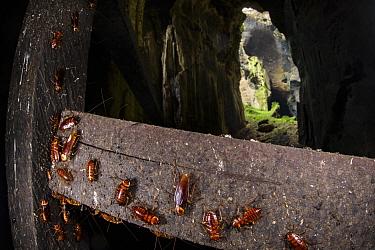 Cockroaches (Periplaneta australasiae) on handrail, Gomantong caves, Borneo, Sabah, Malaysia.