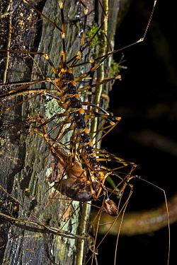 Cave centipede (Thereuopoda longicornis) with a cricket in its jaws, Gunung Mulu National Park, Borneo, Sarawak, Malaysia.