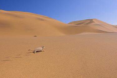 Namaqua chameleon (Chamaeleo namaquensis) in desert sand dunes, Swakopmund, Namibia.
