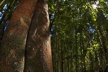 Mossy leaf-tailed gecko (Uroplatus sikorae) camouflaged on tree trunk, Madagascar