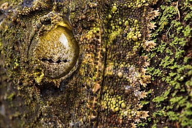 Mossy leaf-tailed gecko (Uroplatus sikorae) close up of eye and  mouth fringes, close to real moss, Madagascar