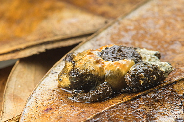 Bird-dung frog (Theloderma asperum) captive, occurs in Asia.