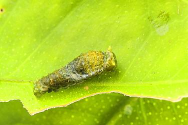 Great mormon (Papilio memnon) caterpillar mimicking a bird faeces, Captive, occurs in Asia.