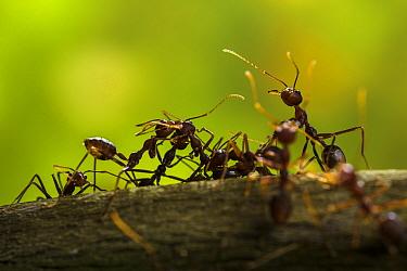 Weaver ants (Oecophylla smaragdina) Sabah, Malaysian Borneo.