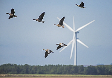 Flock of Pink-footed geese (Anser brachyrhynchus) flying in front of a wind turbine. Druridge Bay, Northumberland, England, UK, October