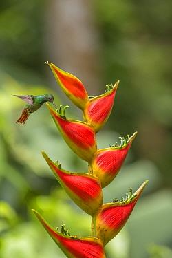 Rufous-tailed hummingbird (Amazilia tzacatl) feeding from  Heliconia flower (Heliconia wagneriana) La Selva Field Station, Costa Rica.