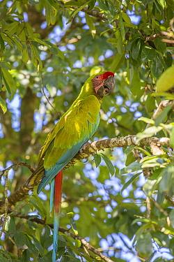 Great green macaw (Ara ambiguus) La Selva Field Station, Costa Rica.